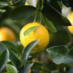 Perché le foglie del limone si arricciano
