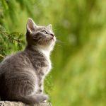 Quali sono le aspettative di vita di un gatto cardiopatico?
